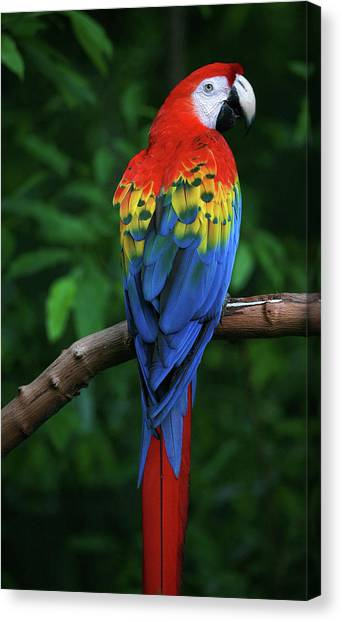 Macaw Canvas Print - Scarlet Macaw by Thepalmer