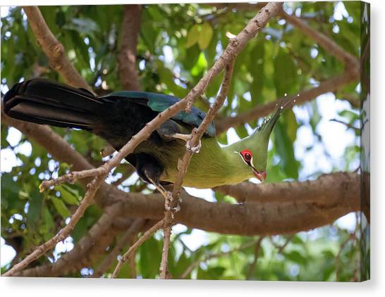 Schalow's Turaco Canvas Print