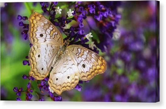 Anartia Jatrophae Canvas Print - Sea Lavender And White Peacock Butterfly  by Saija Lehtonen