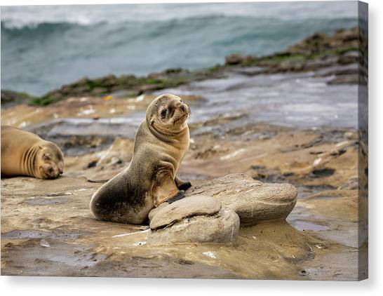 Sea Lion Pup Canvas Print by K Pegg
