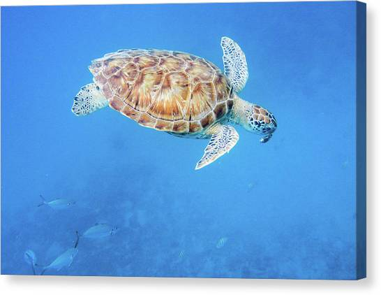 Sea Turtle And Fish Swimming Canvas Print