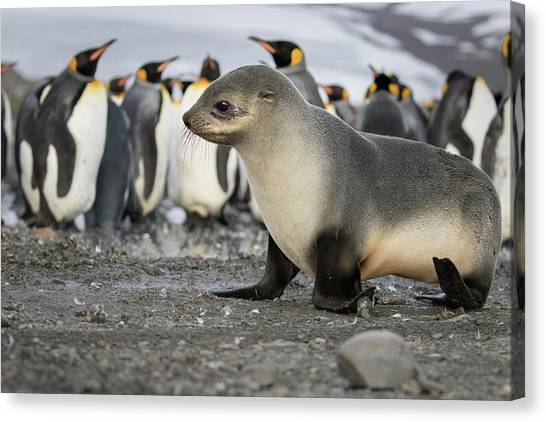 Seal Pup With King Penguins On Beach Canvas Print by Tom Norring