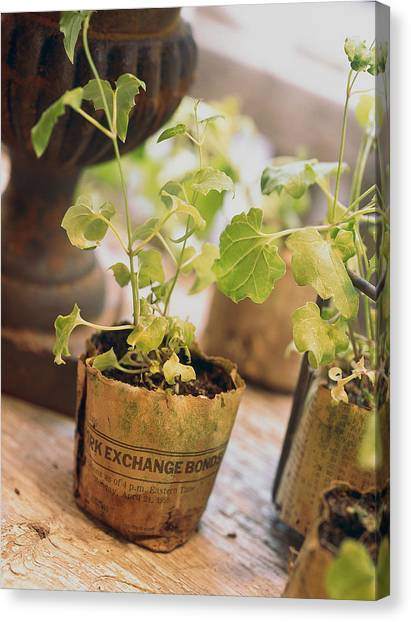 Seedling In Paper Contontainer Canvas Print
