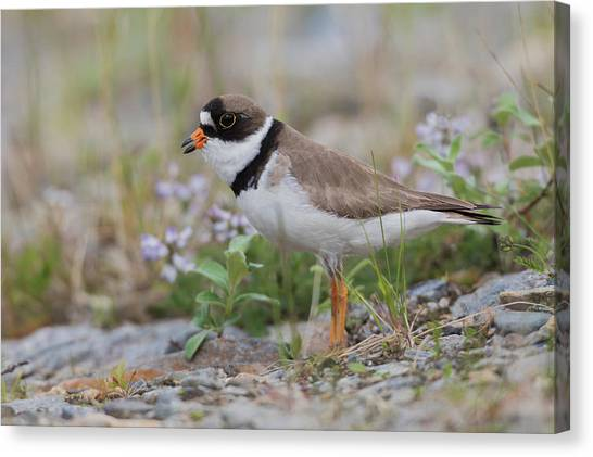 Semipalmated Plover Calling, Creek Bed Canvas Print by Ken Archer