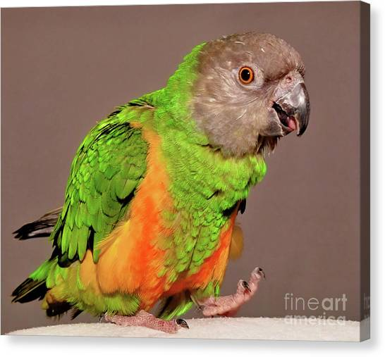 Senegal Parrot Canvas Print