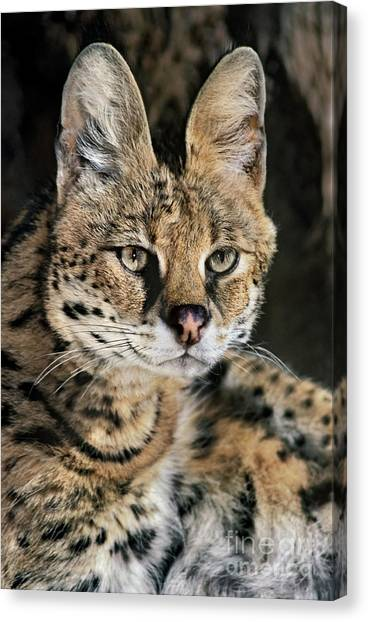 Serval Portrait Wildlife Rescue Canvas Print