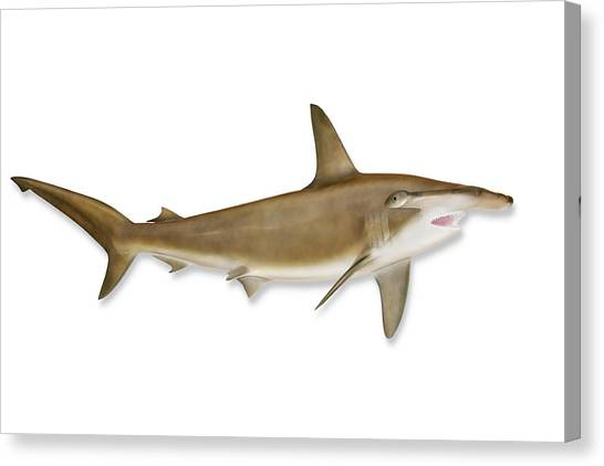 Shark With Clipping Path Canvas Print by Georgepeters