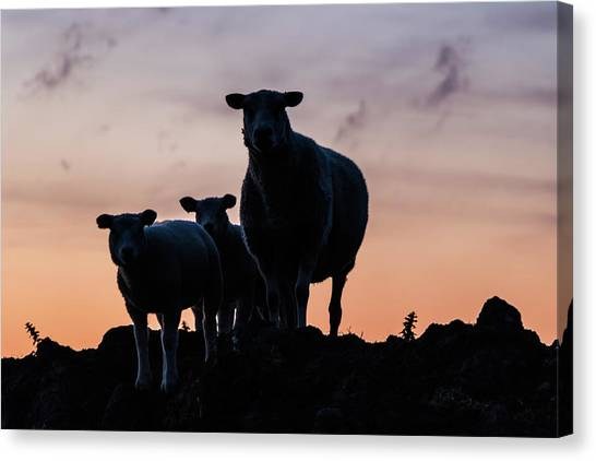 Canvas Print featuring the photograph Sheep Family by Anjo Ten Kate