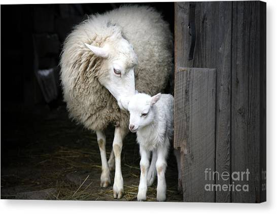 Livestock Canvas Print - Sheep With A Lamb Standing In The by Katarzyna Mazurowska