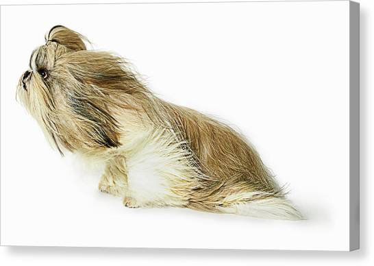 Shih-tzu Dog Fur Blowing In The Wind Canvas Print