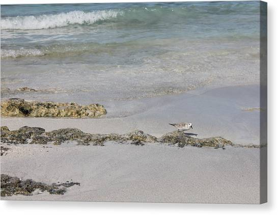 Shorebird Canvas Print
