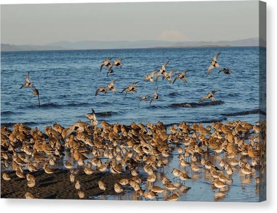 Shorebirds, Spring Migration Stop Canvas Print by Ken Archer