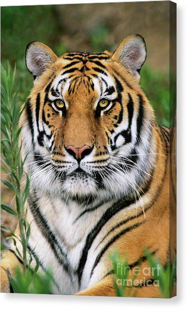 Siberian Tiger Staring Endangered Species Wildlife Rescue Canvas Print