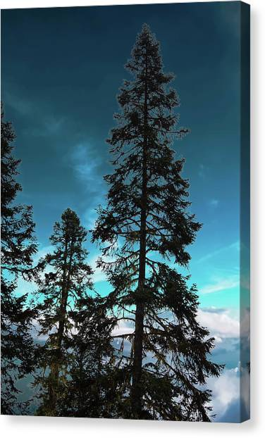 Silhouette Of Tall Conifers In Autumn Canvas Print