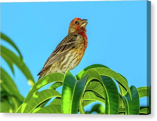 Singing House Finch Canvas Print