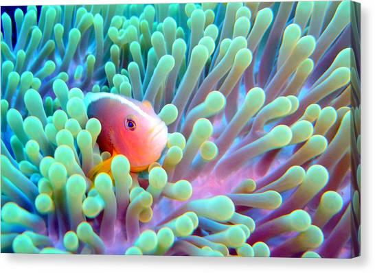 Anemonefish Canvas Print - Skunk Clownfish And Sea Anemone by Takau99