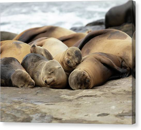 Sleeping Sea Lions Canvas Print by K Pegg