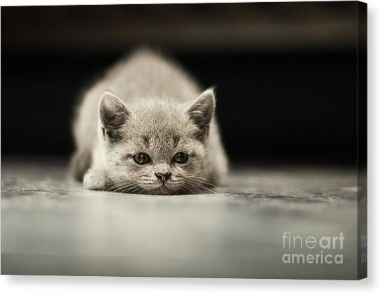 Purebred Canvas Print - Sleepy British Kitten Over Black by Belovodchenko Anton