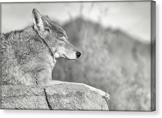 Canvas Print featuring the photograph Sleepy Coyote by Elaine Malott