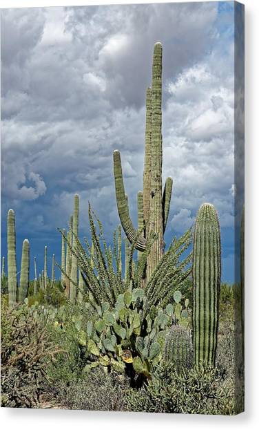 Slow Pokes - Sonoran Desert Canvas Print