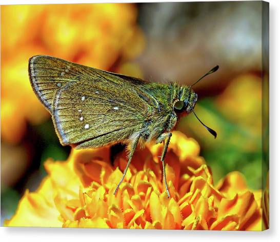 Canvas Print featuring the photograph Small Branded Swift by Anthony Dezenzio