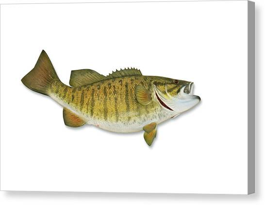Smallmouth Bass With Clipping Path Canvas Print by Georgepeters