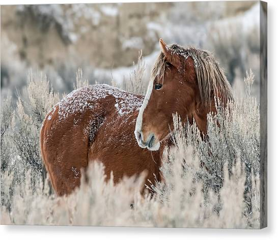 Snow Dusted Mustang Stallion Canvas Print