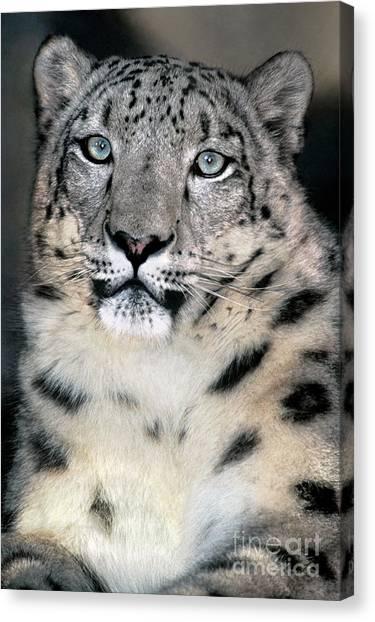 Snow Leopard Portrait Endangered Species Wildlife Rescue Canvas Print