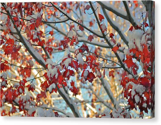 Snow On Maple Leaves Canvas Print