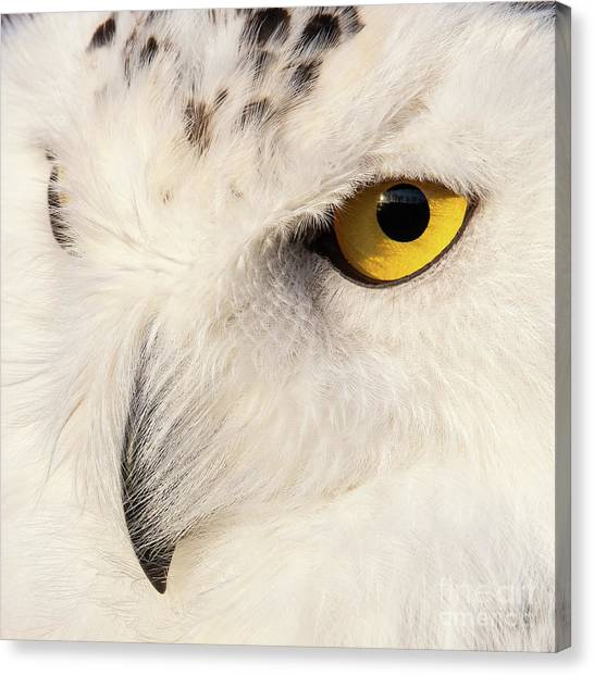Snow Owl Eye Canvas Print