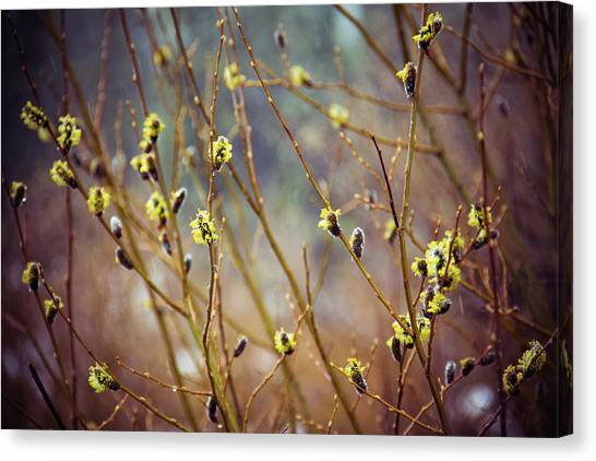 Snowfall On Budding Willows Canvas Print