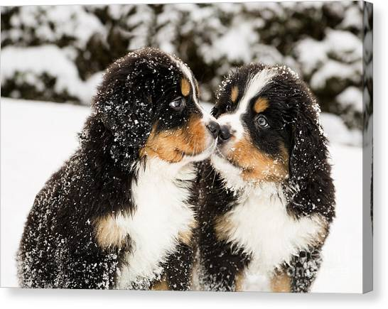 Purebred Canvas Print - Snowy Bernese Mountain Dog Puppets by Einar Muoni