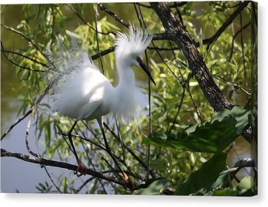 Snowy Egret 4031202 Canvas Print