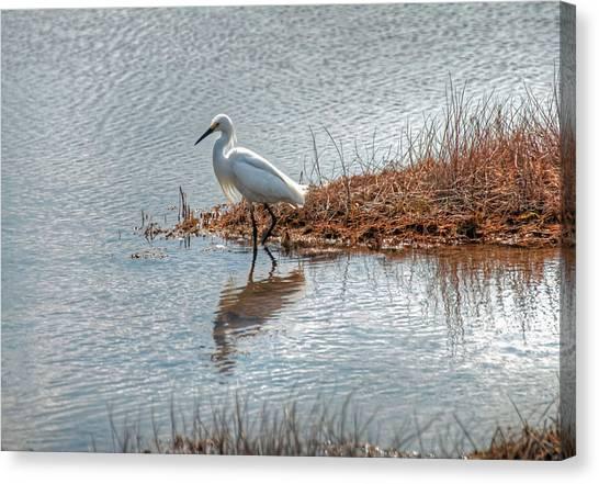 Snowy Egret Hunting A Salt Marsh Canvas Print