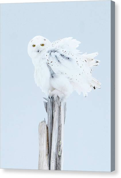 Snowy Owl Feather Shake Canvas Print