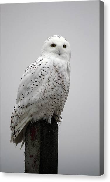Snowy Owl In Fog Canvas Print
