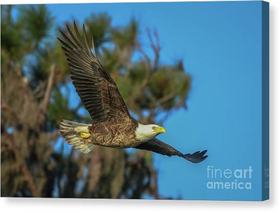 Canvas Print featuring the photograph Soaring Eagle by Tom Claud