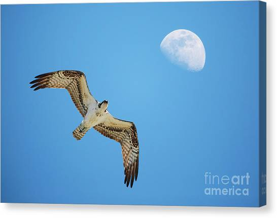 Soaring Osprey And Gibbous Moon Canvas Print