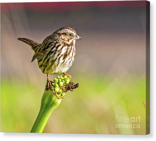 Songster Perching Canvas Print