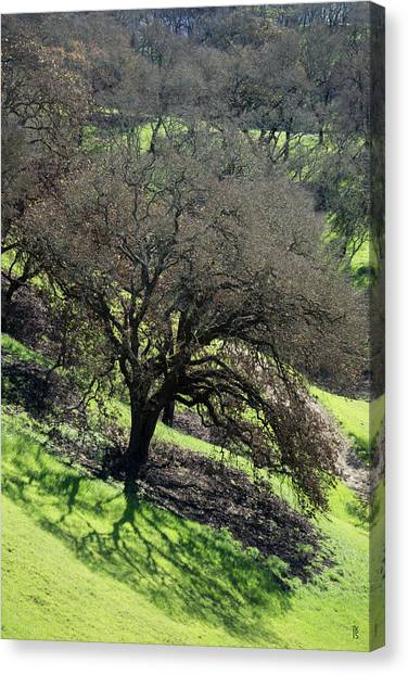 Sonoma Valley Rp_oak_1333_18 Canvas Print