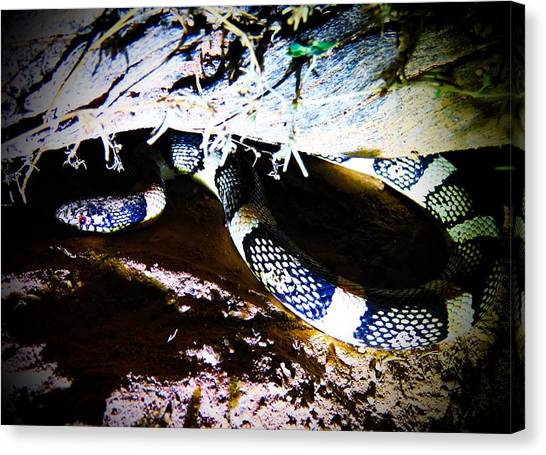 Canvas Print featuring the photograph Sonoran Desert Longnosed Snake by Judy Kennedy