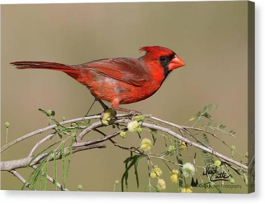 South Texas Cardinal Canvas Print