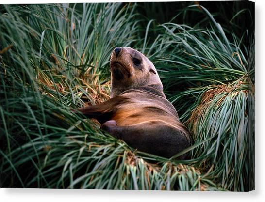 Southern Fur Seal Arctocephalus Gazella Canvas Print