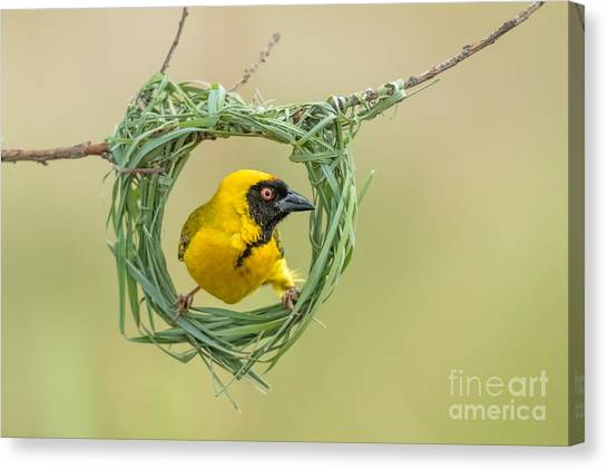 Southern Africa Canvas Print - Southern Masked Weaver Building Nest by Tobie Oosthuizen