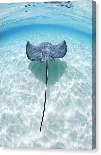 Southern Stingray Cayman Islands Canvas Print by Justin Lewis