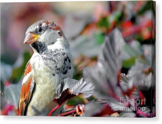 Sparrow Profile Canvas Print