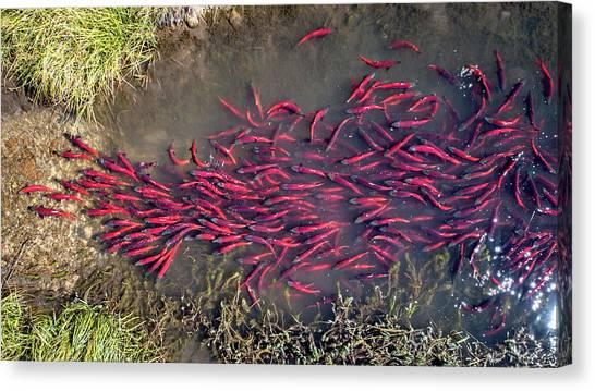 Spawning Kokanee Salmon Canvas Print
