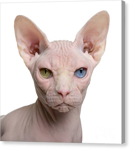 No-one Canvas Print - Sphynx Cat, 1 Year Old, In Front Of by Eric Isselee