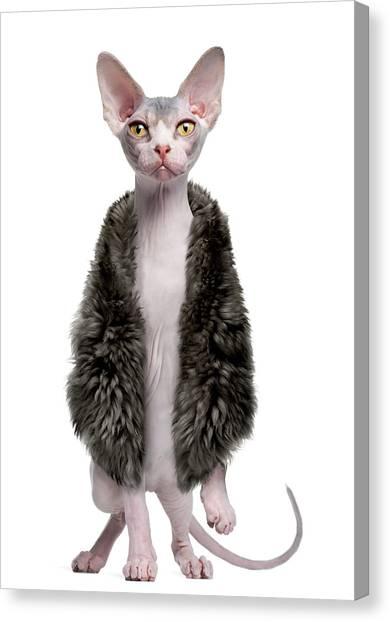 Sphynx Kitten Wearing Fur Canvas Print