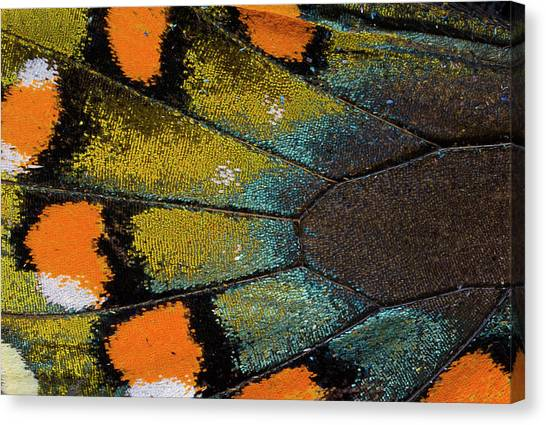 Spicebush Swallowtail Butterfly Wing Canvas Print